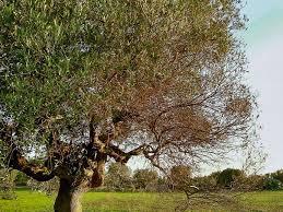 La menace de la bactérie Xylella Fastidiosa tueuse d'oliviers plane sur la Corse