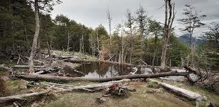 Au chili, les castors représentent une vraie menace pour les forêts de Patagonie