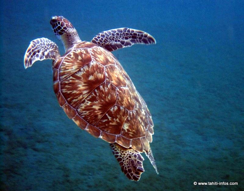 Les tortues du Pacifique de plus en plus malades