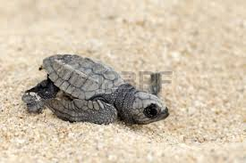 Honduras: 30.000 tortues marines gagnent la mer sous la protection d'écologistes