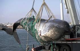 Baleines: le Japon promet des prises moindres pour recommencer à chasser dans l'Antarctique