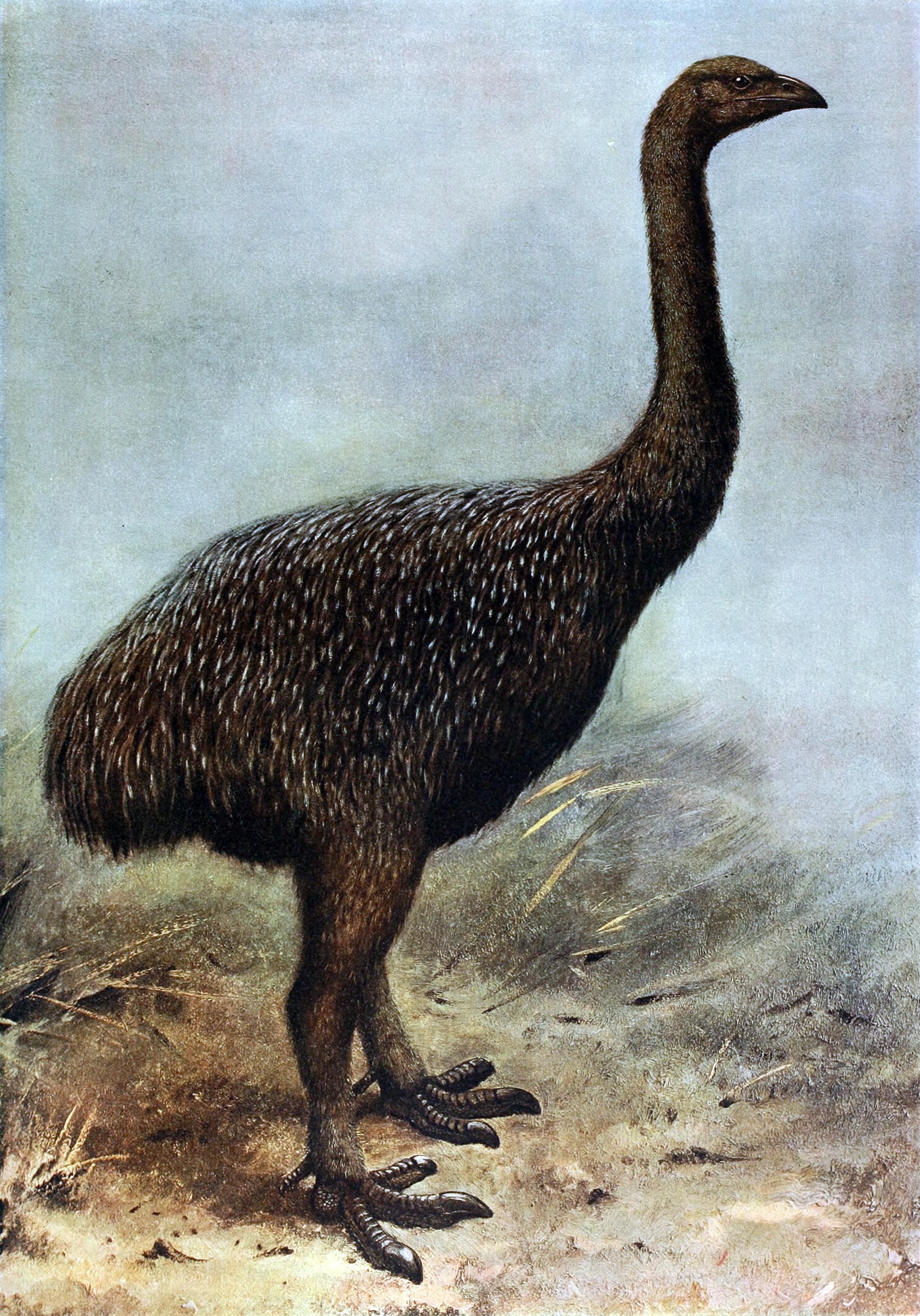 Neuf espèces de moa ont été recensées. Elles étaient réparties entre les îles du Nord et du Sud de la Nouvelle-Zélande.