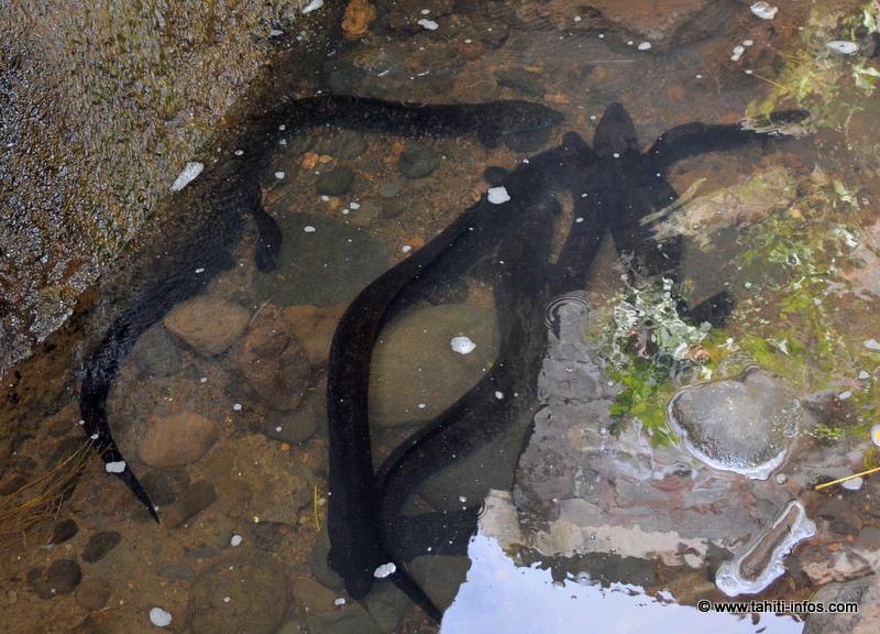 Ces anguilles sacrifiées aux mauvais aménagements des rivières