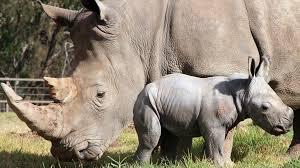 Naissance rarissime d'un rhinocéros blanc au zoo d'Amnéville