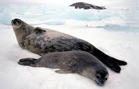 La grippe aviaire décime les phoques en Scandinavie