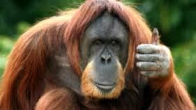 L'Argentine reconnaît le droit à un orang-outan d'être libre