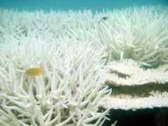 """Des coraux victimes de """"blanchissement"""" peuvent redevenir sains"""