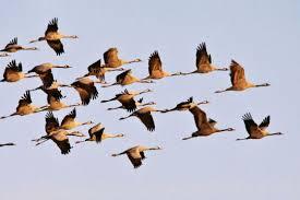 Les oiseaux migrateurs se relaient en tête de la formation pour moins se fatiguer