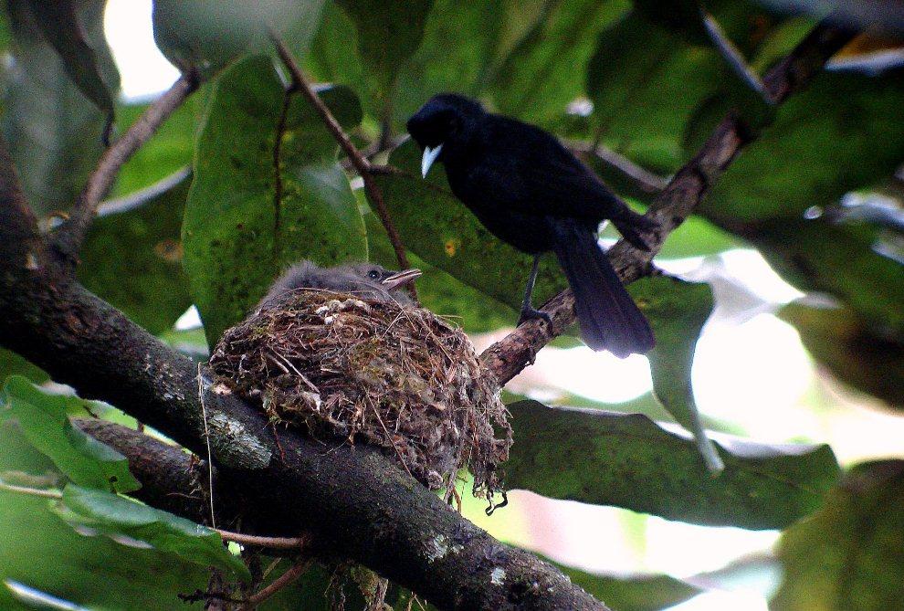 Le monarque Fatu Hiva, l'oiseau le plus menacé de Polynésie (photo : T Ghestemme)