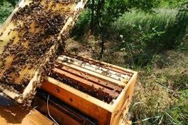 Les abeilles forcées à butiner trop jeunes, facteur clé dans l'effondrement des ruches