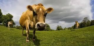 Climat: les vaches continueront de roter et de peter, alors que faire ?