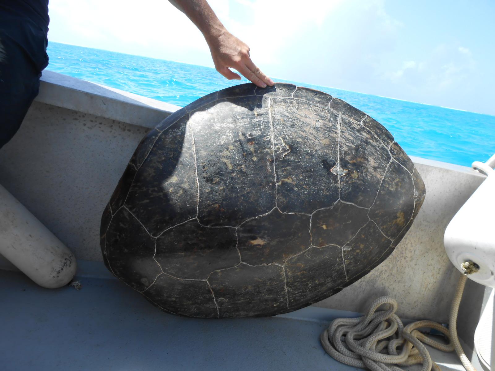 Il est interpellé alors qu'il découpait une tortue