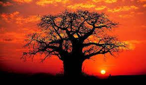 Le secret de vieillesse des baobabs expliqué par leur cavité