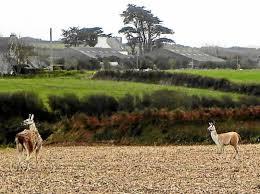 USA: deux lamas se font la belle, Twitter s'emballe