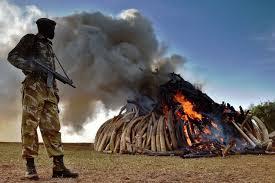 Le Kenya brûle 15 tonnes d'ivoire et promet de détruire son stock dans l'année