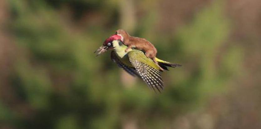 Une belette fait un vol à dos de pic-vert