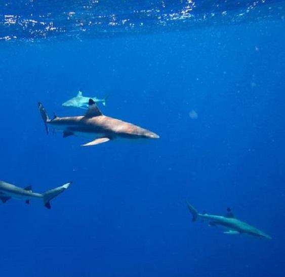 Un bébé mordu par un requin aux Tuamotu