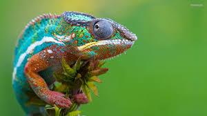 Le caméléon réorganise ses nano-cristaux pour changer de couleur