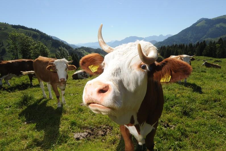 Nouveau radar : avion ennemi ? non vache suisse