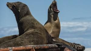 Opération de sauvetage en Californie pour près de 2.000 lions de mer affamés