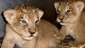 Deux bébés lions abandonnés devant un parc animalier en Seine-et-Marne