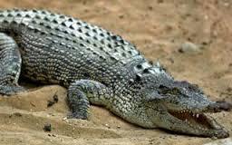 Sifis, l'insaisissable crocodile crétois, est mort de froid