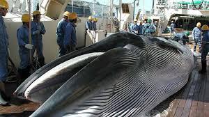 """Baleine: le plan de chasse """"scientifique"""" du Japon contesté par la Commission baleinière"""