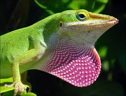 """Trois nouvelles espèces de """"mini-dragons"""" découvertes dans les Andes"""
