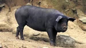 Tuerie autour d'un cochon en PNG : dix morts