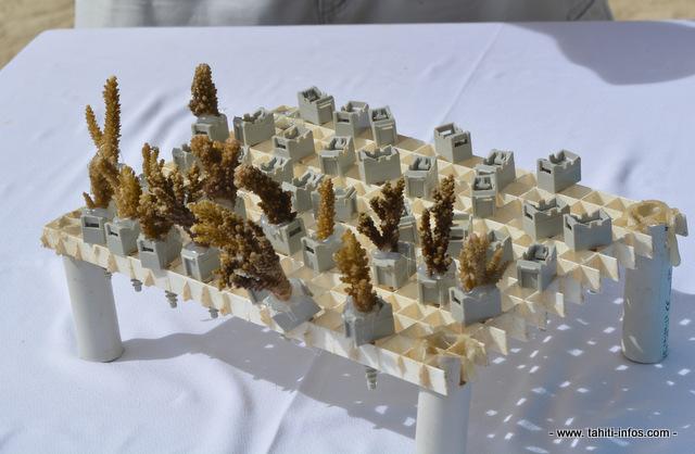 Les boutures de corail sont collés sur de petits supports en plastique (vendus en magasins de bricolage) puis replacés sur les massifs coralliens dans le lagon.