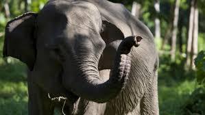 Doux séjour à Niue pour un éléphanteau en transit