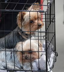 Indésirables, les chiens de Johnny Depp vont quitter l'Australie comme ils étaient venus: en jet privé