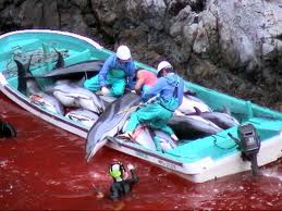 Dauphins: des pêcheurs japonais refusent d'abandonner une technique de chasse controversée