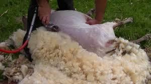 Tondeurs malpolis : « les moutons ne se sont pas encore plaints »
