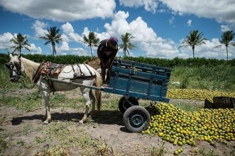 """Un ouvrier agricole décharge des oranges dans un champ d'une coopérative agricole """"bio"""" à Rio Real, à 200 km au nord de Salvador de Bahia au Brésil."""