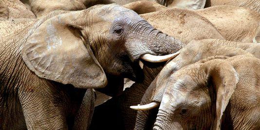 """La moitié des éléphants de Tanzanie décimée en cinq ans, un """"déclin catastrophique"""""""