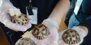 """""""Immenses"""" saisies de contrebande animale à travers le monde"""