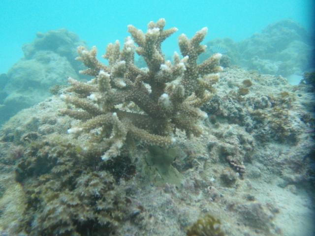 Tamari'i pointe des pêcheurs donne des coraux à l'association Pa'e pa'e no te ora