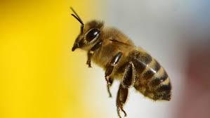 """Une """"autoroute"""" pour sauver les abeilles à Oslo"""