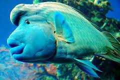Un Napoléon, espèce sensible à la pêche intensive, à Océanopolis