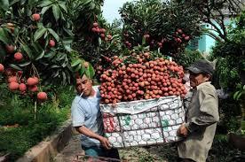 La guerre du litchi, révélatrice de la dépendance du Vietnam envers le marché chinois