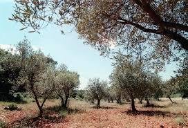 Un premier cas de Xylella Fastidiosa (bactérie tueuse d'olivier) détecté en Corse du sud