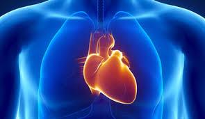 Une mutation génétique permet au coeur de s'adapter au manque d'oxygène