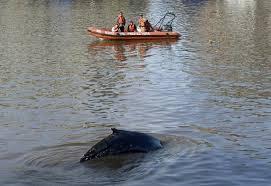 Doutes sur la survie du baleineau égaré à Buenos Aires