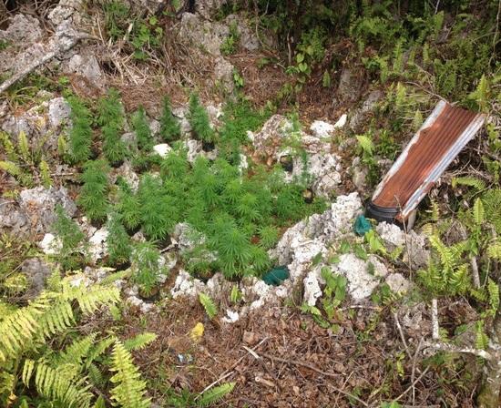 Trois plantations de paka détruites à Rimatara
