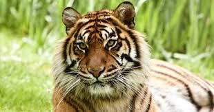 Indonésie: quatre braconniers interpellés pour avoir tué un tigre de Sumatra
