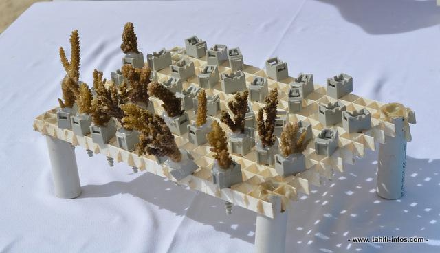 Des boutures de corail prêtes à être réimplantées sur des récifs coralliens, depuis plusieurs années, le Criobe mène des recherches sur cette reproduction asexuée des coraux.