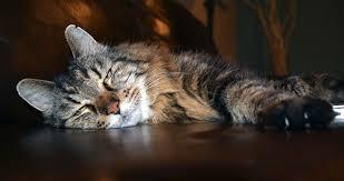 A 26 ans, Corduroy, amateur de cheddar, devient le plus vieux chat du monde
