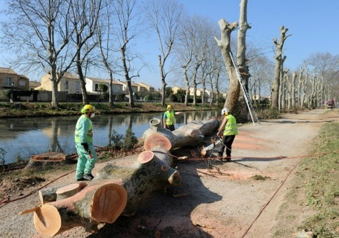 Canal du Midi : abattage de 2.200 platanes malades à partir de lundi .