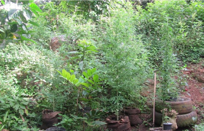 198 plants de paka ont été détruits à Nuku Hiva.